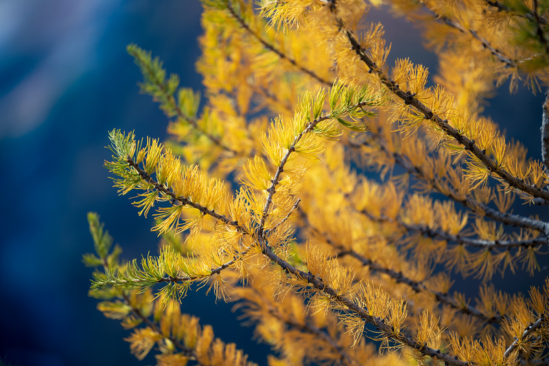 Rainy Pass, Cutthroat Pass - Close up of yellow larch branches with some green tips and blue behind