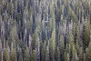 Whatcom, Yellow Aster Butte - Abstract of old growth forest patterns
