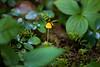 North Cascades, Thunder Creek - Tiny yellow mushroom
