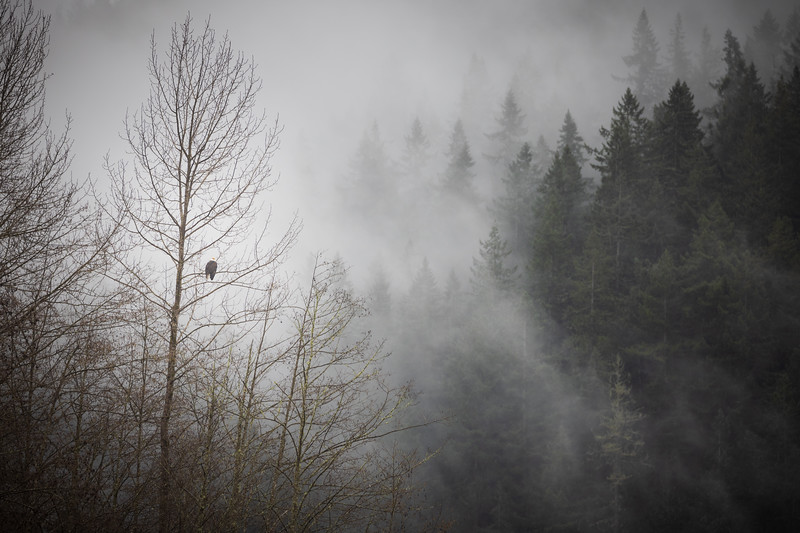 Whatcom, Mosquito Lake Bridge - Eagle sitting in tree with foggy forest behind