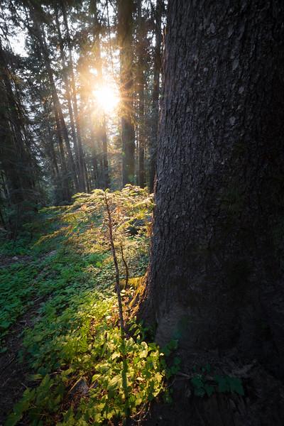 North Cascades, Cascade Pass - Sun illuminating small tree next to large tree