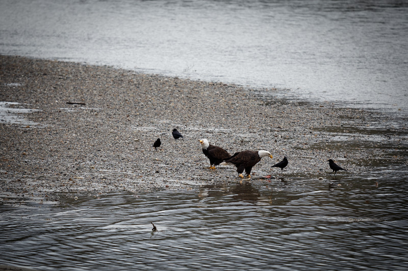 Whatcom, Skagit - Two bald eagles fishing on edge of river