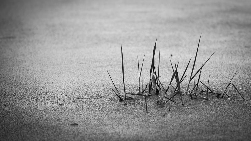 Snohomish, Portage Creek - Blades of grass peeking through frozen pond, b&w