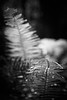 Whidbey, Deception Pass - Black and white close up of sword ferns