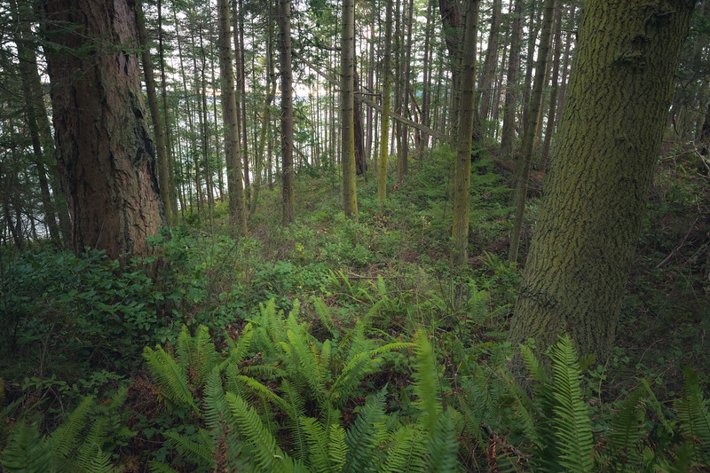 Skagit, Kukutali Preserve - Stand of forest with green ferns