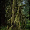 Famous Trees of Hall of Mosses (Hoh Forest)