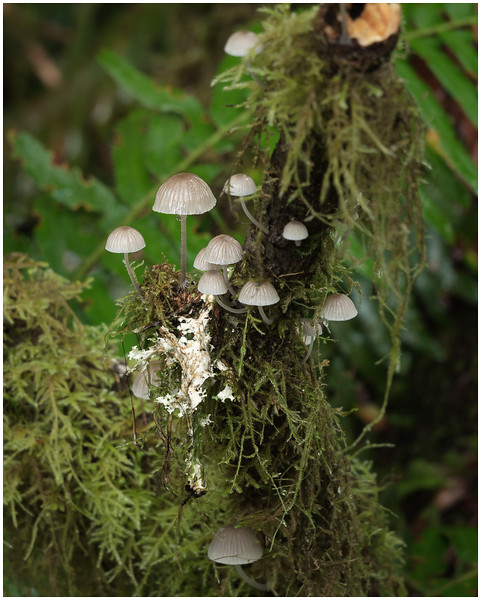 Very Delicate Mushrooms (Hoh Forest)