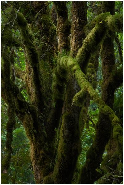 Tree on Marymere Falls Trail