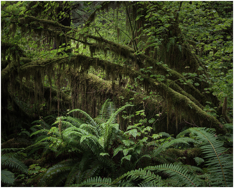 Moss and Fern (Hoh Forest)