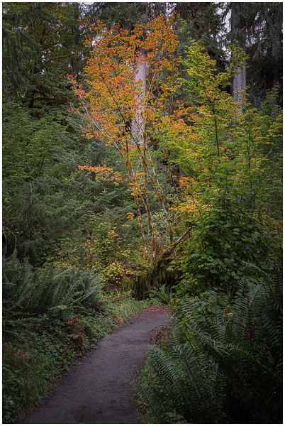 Fall Colors (Hoh Forest)