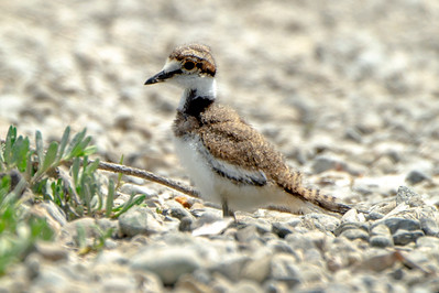 Juvenile  Killdeer Plover shorline of Hood Canal, Washington