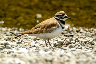 Killdeer Plover shorline of Hood Canal, Washington