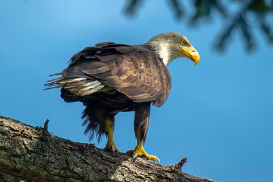 Eagle perched above Hood Canal, Washington