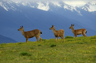 Deer at Hurrincane Ridge Olympic National Park