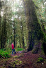 Hoh, Rainforest - Hiker with red jacket looking up at enormous old growth tree in clearing, vertical