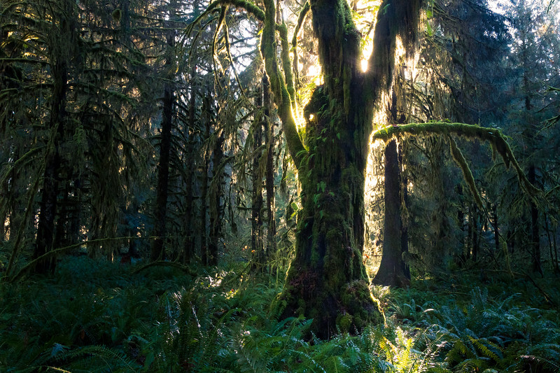 Hoh, Rainforest - Large maple tree backlit by sun