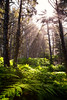 Olympic NP, Ozette Coast - Sun peeking through trees and ferns