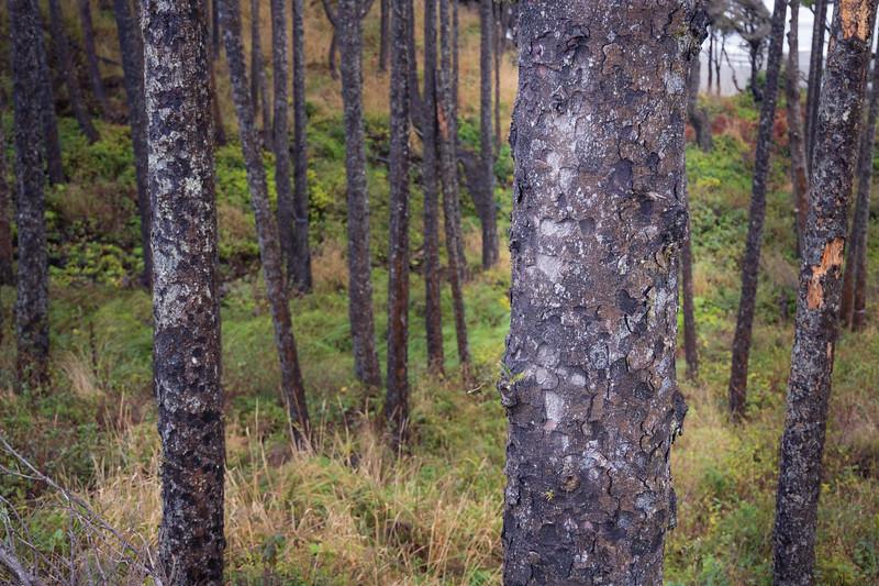 Grays Harbor, Seabrook - Tree trunks in beachside forest