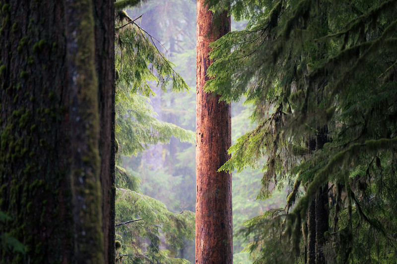 Quinault, Rainforest - Lone red snag seen through forest against distant fog