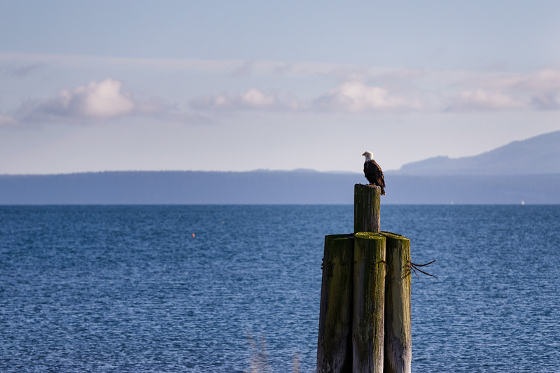 Sequim, Dungeness Spit - Juvenile eagle on a dock piling