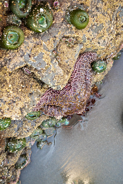 Kalaloch, Ruby Beach - Purple starfish in tide pool