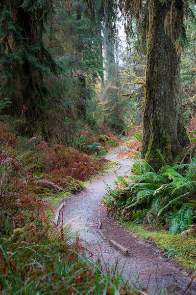 Hoh, Rainforest - Trail winding past a large tree in an S shape
