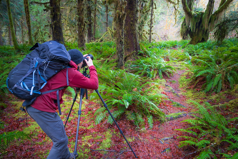 Hoh, Rainforest - Photographer with tripod shooting clearing with moss covered tree and ferns