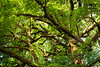 Quinault, Rainforest - Tall maple tree and branches intertwined