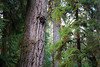 Hoh, Rainforest - Close up of large Douglas Fir tree trunk in forest