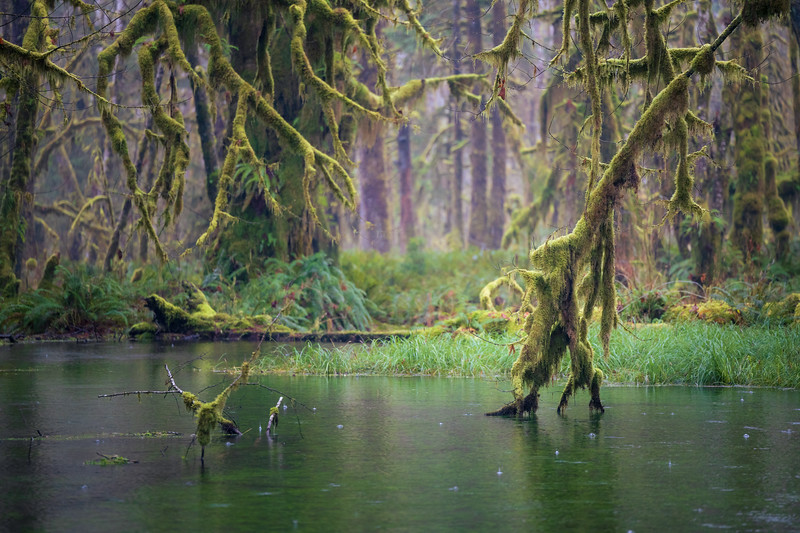 Quinault, Rainforest - Tree branch touching flooded swamp in the rain