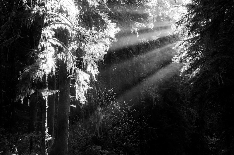 Hoh, Rainforest - Crepsecular rays illuminating a tree, black and white