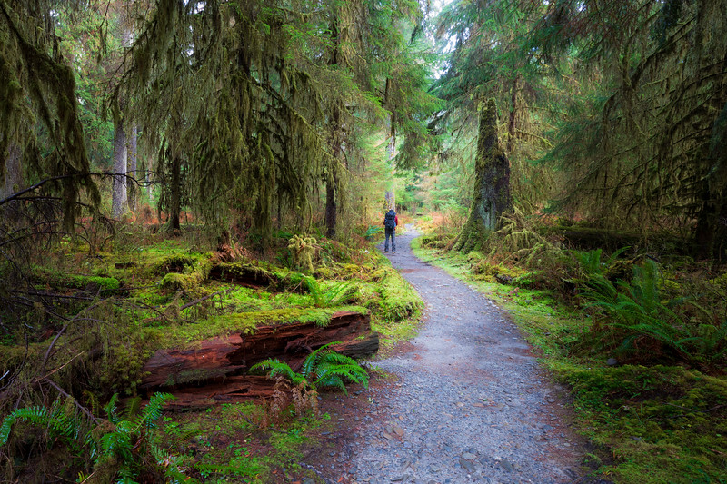 Hoh, Rainforest - Trail winding through a moss covered clearing past a snag with hiker