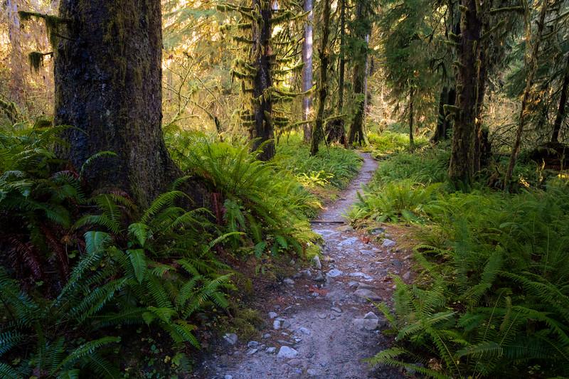 Hoh, Rainforest - Hoh River trail through ferns and tall trees