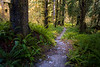 Hoh, Rainforest - Hoh River trail through ferns and tall trees