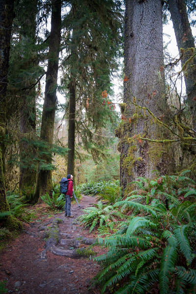 Hoh, Rainforest - Photographer with tripod stopping on trail to admire a large tree