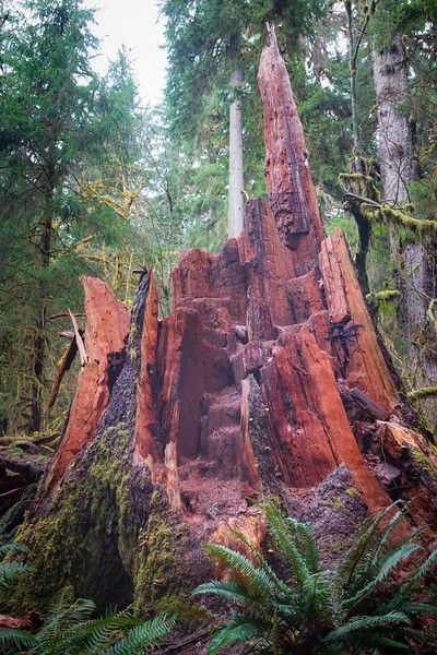 Hoh, Rainforest - Red cedar snag in a clearing