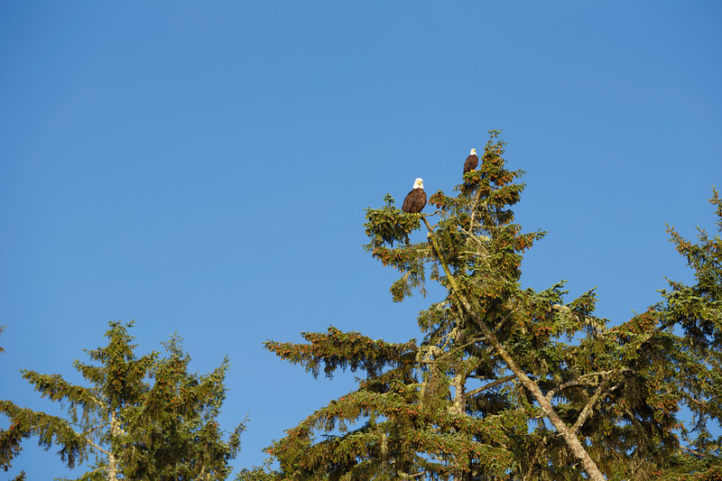 Olympic NP, Ozette Coast - Two bald eagles sitting in a tree