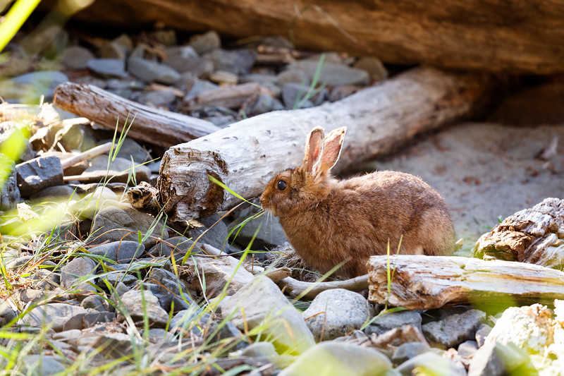 Olympic NP, Ozette Coast - Small rabbit exploring the beach