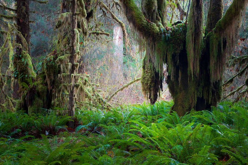 Hoh, Rainforest - Clearing in forest with ferns and close up of large moss covered tree