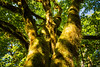 Quinault, Rainforest - Parallel tree trunks reaching for the sky