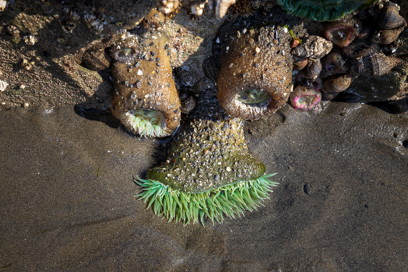 Kalaloch, Ruby Beach - Sea anemones arranged to look like eyes, nose, and mustache