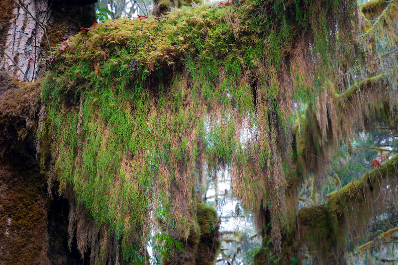 Hoh, Rainforest - Moss hanging from a large tree branch
