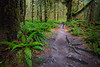 Hoh, Rainforest - Photographer with tripod looking at a clearing of ferns