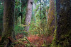 Hoh, Rainforest - Douglas Fir old growth tree in a small clearning of Sitka Spruce