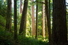Quinault, Rainforest - Light illuminating clearing with very tall trees