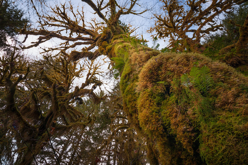 Hoh, Rainforest - Looking up a moss covered tree trunk towards a blue sky