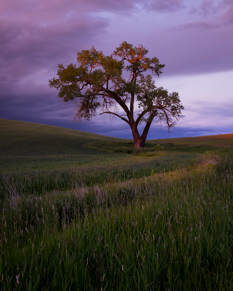 Cottonwood Tree at Sunset