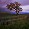 Cottonwood Tree at Sunset