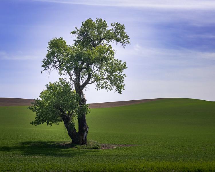 Cottonwood Tree #3