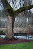 Bothell, Bothell Landing - Old tree in the shape of a Y above a park bench